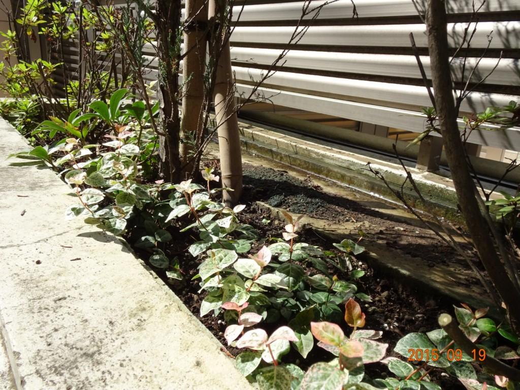 道路側植栽 最近植えたばかりの下草(初雪カヅラ)