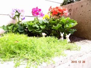 プリムラオブコニカ三色植えと水仙