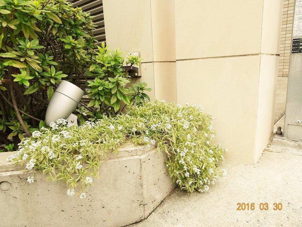 フォンテーヌ駒沢 駐車場横花壇のスーパーアリッサム