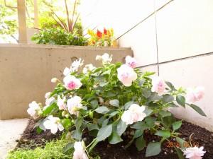 フォンテーヌ駒沢エントランス花壇